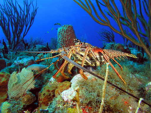 A spiny lobster spotted in  Statia National Marine Park, in the waters surrounding St. Eustatius.