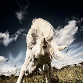 Bow Down by Ian Taylor - Animals Horses ( white, grass, photoshop, pony, welsh )
