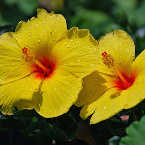 Seeing Double Hibiscus by Colleen Rohrbaugh - Flowers Flower Gardens ( double flowers, hibiscus, yellow, flowers,  )