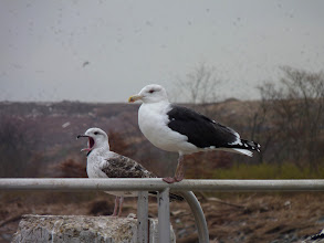 Photo: Great Black-backed Gulls at Edison Boat Basin