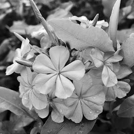Delicate blooms by Debbie Squier-Bernst - Black & White Flowers & Plants