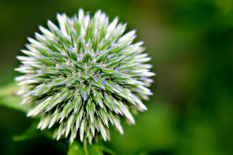 Photo: Echinops - Prints and cards here - http://www.inspiraimage.com/index.php/gallery/flowers/228-echinops-seedhead