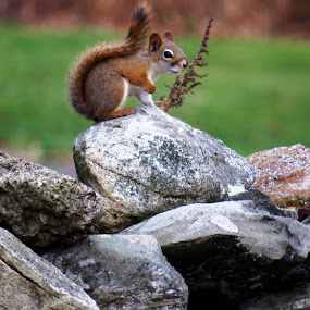Red Squirrel by Erika  Kiley - Novices Only Wildlife ( furry, fall, brown, rocks, wall, squirrel )