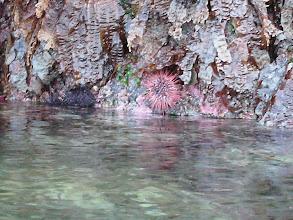 Photo: Sea Urchin