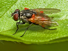 Photo: Fly with red mites