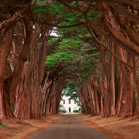 Point Reyes Tree Tunnel by Christian Wicklein - Nature Up Close Trees & Bushes ( point reyes, red, color, green, cypress, trees, perspective, road, sunrise, tree tunnel, long, tall )