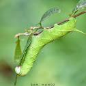 Sphinx Moth / Hummingbird Moth
