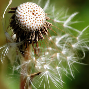Gone with the wind by Siew Feun Kylemark - Nature Up Close Other plants ( plant, nature, dandelion, weed, seeds )