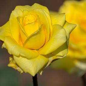 Beautiful winter flowers  by Basant Malviya - Flowers Single Flower ( nature, blosom, flower )