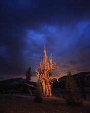 Photo: Blue Hour Bristlecone