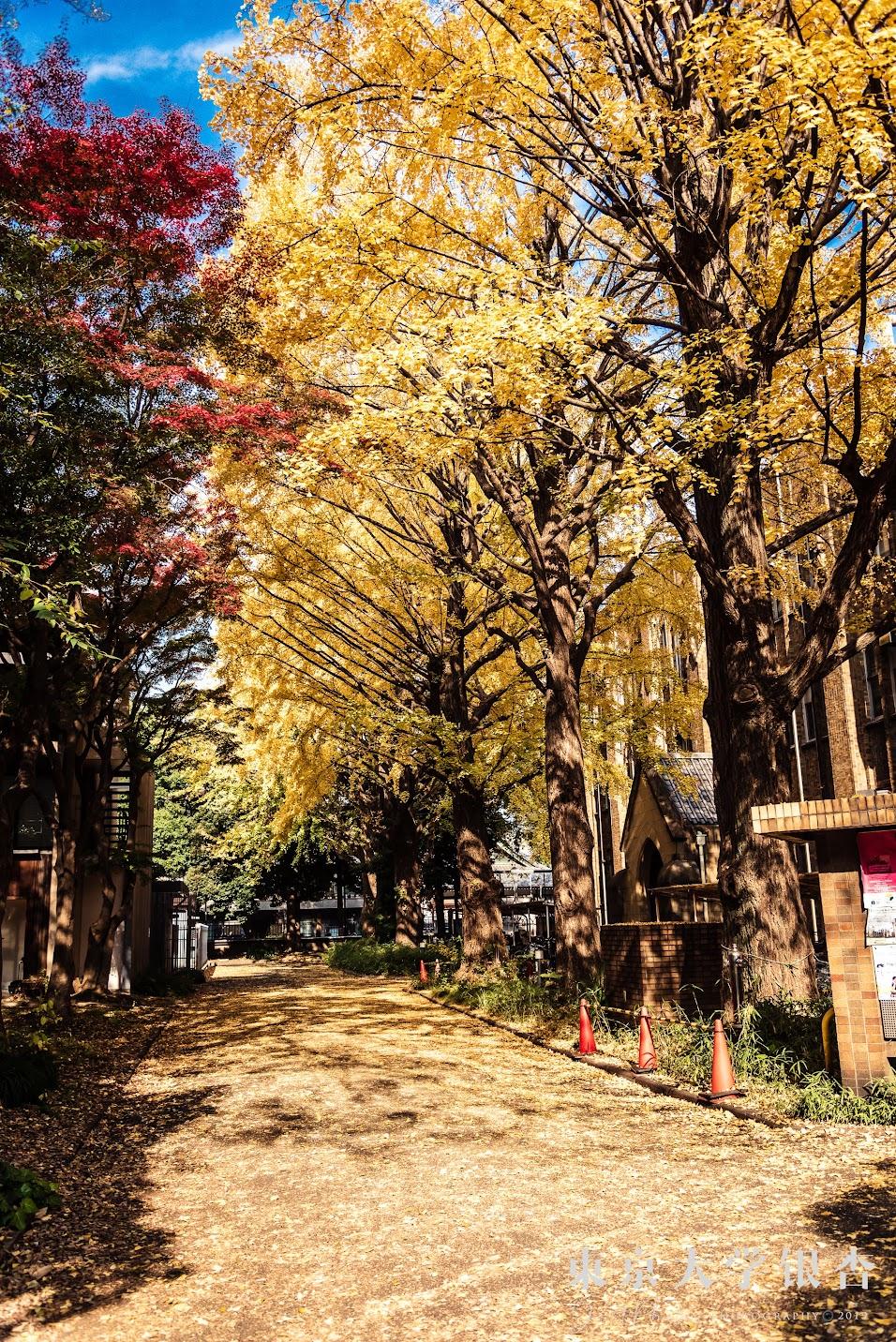 彌生校區農2館前的銀杏有種置身韓劇場景中的感覺。