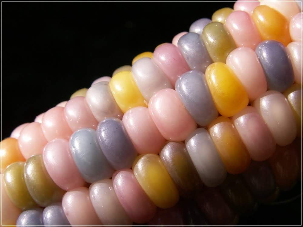 Glass Gem Corn, os milhos multicoloridos