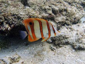 Photo: Chelmon rostratus (Copperband Butterflyfish), Miniloc Island Resort Reef, Palawan, Philippines.