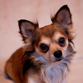 chua by Frodi Brinks - Animals - Dogs Portraits