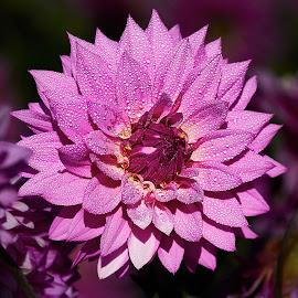 Dahlia 8643~ by Raphael RaCcoon - Flowers Single Flower