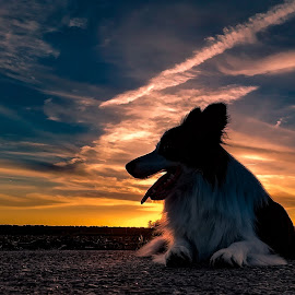 Sunset by Marjan Smit - Animals - Dogs Portraits