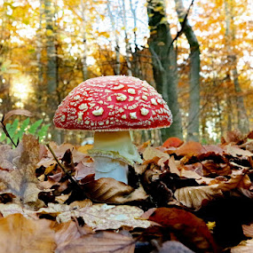 FLY AGARIC by Dean Eades - Nature Up Close Mushrooms & Fungi ( dean eades, toadstoal, fly araric, birdmad )