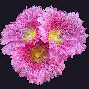 Triple Hollyhock by Al Judge - Nature Up Close Flowers - 2011-2013 ( hillside, hollyhocks, arizona, sedona, flowers )