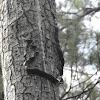 Black Rat Snake, 35 feet up a tree