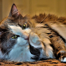 by Tim Hall - Animals - Cats Portraits