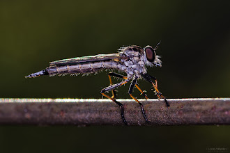 Photo: Macro time is back! Saturday morning macro shoot at Blackburn lake Sanctuary. First, the mandatory Robberfly on the Fence shot... With+Andrés Fernando González Moreno+Tono Soetojobefore meeting the group. #macro  #macrophotography  #insects  #insectphotography  #insectphotos  #bugs  #melbourne #sexyflies and #bugseveryday