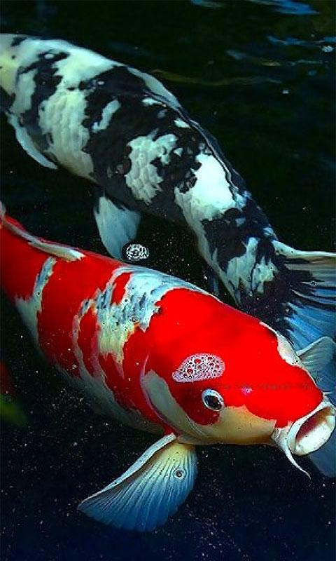koi fish live wallpaper free download for android mobile