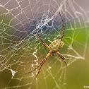 Garden Spider - Orb weaver