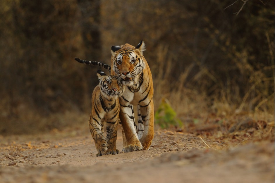 India's tiger population doubles