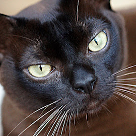Brown Burmese Cat by Caroline Beaumont - Animals - Cats Portraits ( brown burmese cat,  )