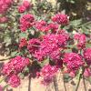 Red Buckwheat