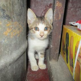 ID: I am Confused !   by Shibalik Choudhury - Animals - Cats Kittens ( kitten, cat, hiding_cat, undercover, eye_spy, fun, closeup, confusedcat, animal,  )