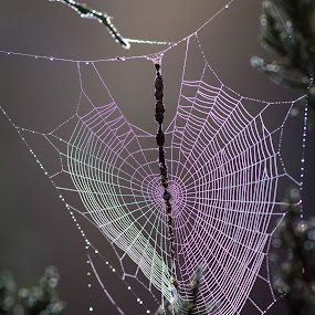 At the Heart of Nature by Brad Bellisle - Nature Up Close Webs ( spider web, magenta, web, spiderweb, purple, spider, heart,  )