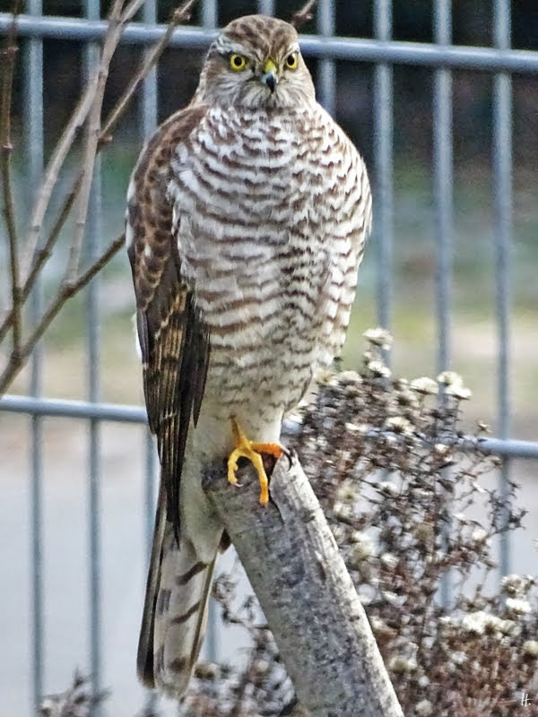 2019-01-23 LüchowSss Garten weiblicher Sperber (Accipiter nisus)