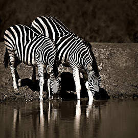 Two Zebra by Pieter J de Villiers - Black & White Animals