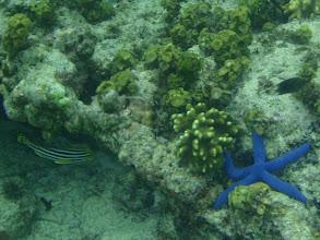 Photo: Linckia laevigata (Blue Linckia Sea Star), Siquijor Island, Philippines