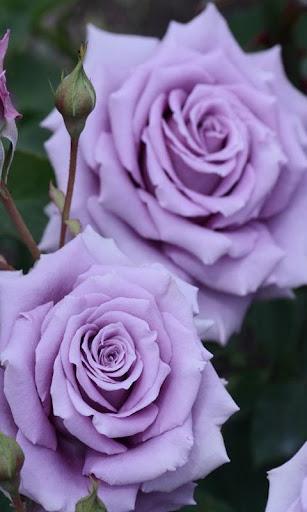 Rose wallpaper  screenshots 3
