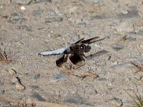 Photo: Common whitetail (Libellula lydia) dragonfly