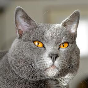 Hugo1312 by Serge Ostrogradsky - Animals - Cats Portraits