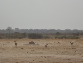 Photo: More kudu join their friend who is approaching the waterhole.