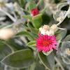 Heartleaf iceplant (φυτό μπούζι)