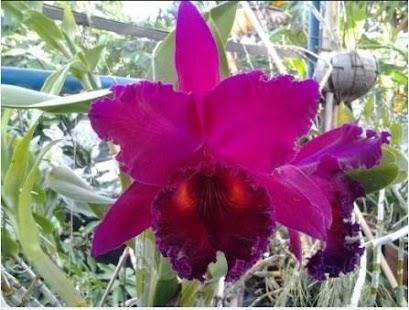 Anggrek Orchid - náhled