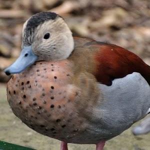 Show A Duck