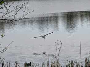 Photo: Priorslee Lake A prehistoric shot of a pterodactyl – or at least a Grey Heron trying to be one. (Ed Wilson)