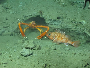 Photo: A squat lobster and small Black belly rosefish huddle near a den on a small ledge in Baltimore Canyon.  Image courtesy of Deepwater Canyons 2012 Expedition, NOAA-OER/BOEM.