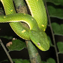 Side-striped palm pit viper