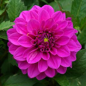 Pink Dahlia #2 by Frank Barnitz - Flowers Single Flower ( pink, dahlia, flower )