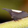 White backed treehopper