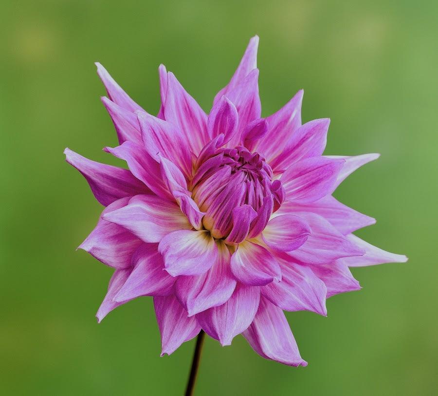 Purple Dahlia  by Jim Downey - Flowers Single Flower ( purple flower, green, dahlia, yellow, petals )