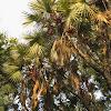 East African Doum Palm