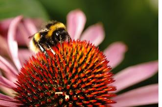 Photo: bumblebee